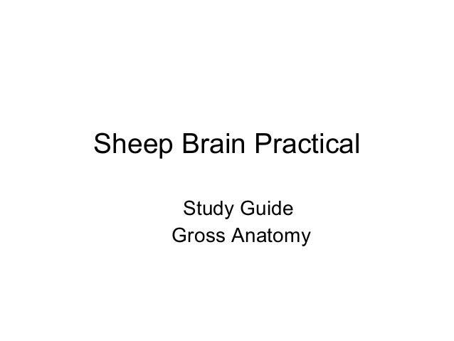Sheep brain gross anatomy