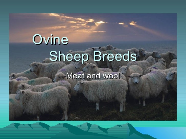 Ovine  Sheep Breeds Meat and wool
