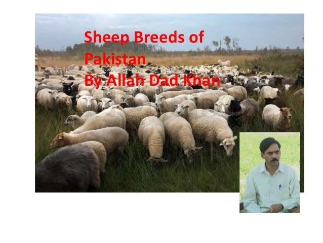 Sheep breeds of Pakistan By Allah Dad Khan