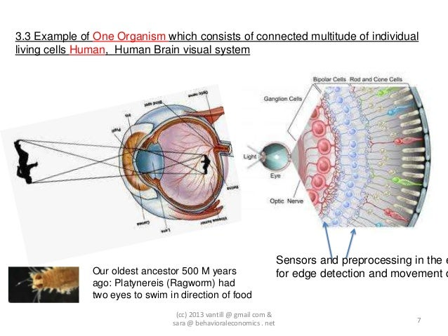 3.3 Example of One Organism which consists of connected multitude of individualliving cells Human, Human Brain visual syst...