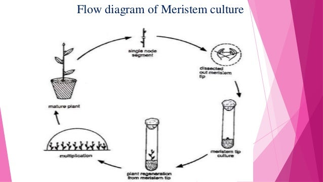 Introduction To Virus Free Plant Tissue Culture