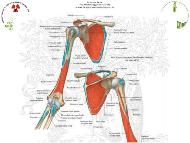 Shoulder Anatomy And Biomechanics