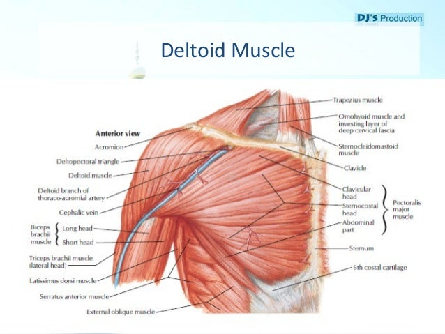 Beautiful Deltoid Muscles Anatomy Picture Collection - Anatomy And ...