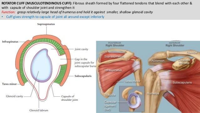 Shoulder Joints Ppt