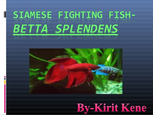 INRODUCTION:Also Called As Betta , Siamese Fighting Fish ,Betta Splendens,crowntail, halfmoon,Plakat Betta but Most Popula...