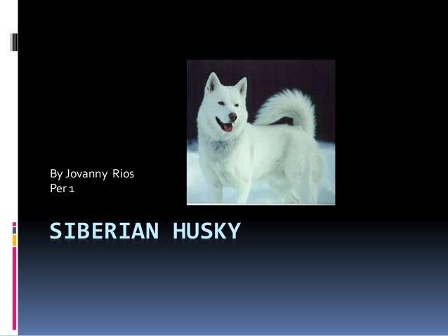 SIBERIAN HUSKY By Jovanny Rios Per 1