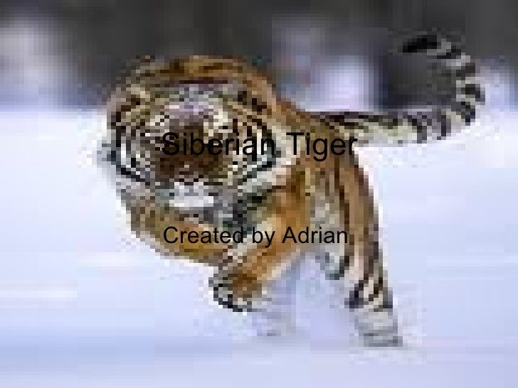 Siberian Tiger Created by Adrian