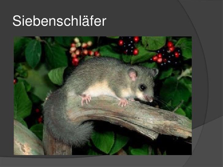 Siebenschläfer<br />