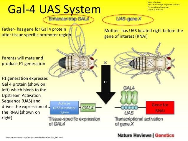 The Art And Design Of Genetic Screens Drosophila