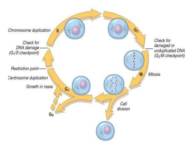 a look at the phases in cell division and growth Let's enter the cell cycle just as a cell forms, by division of  (cell growth),  different types of cells also split their time between cell cycle phases in.