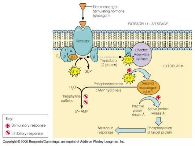 non steroid hormone mechanism of action