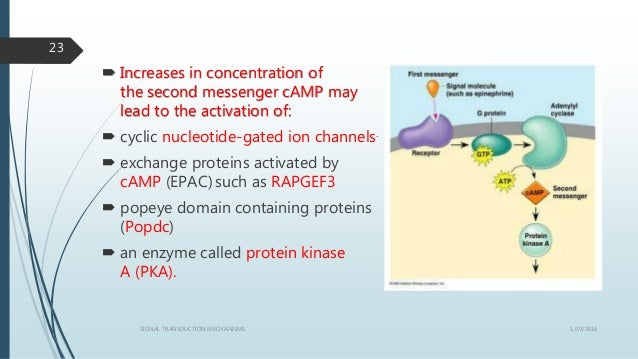 1/19/2016SIGNAL TRANSDUCTION MECHANISMS 23  Increases in concentration of the second messenger cAMP may lead to the activ...