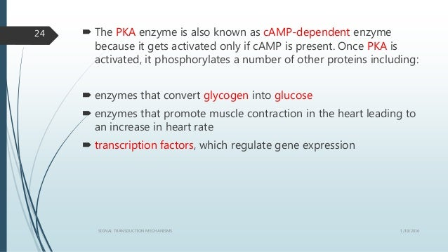  The PKA enzyme is also known as cAMP-dependent enzyme because it gets activated only if cAMP is present. Once PKA is act...