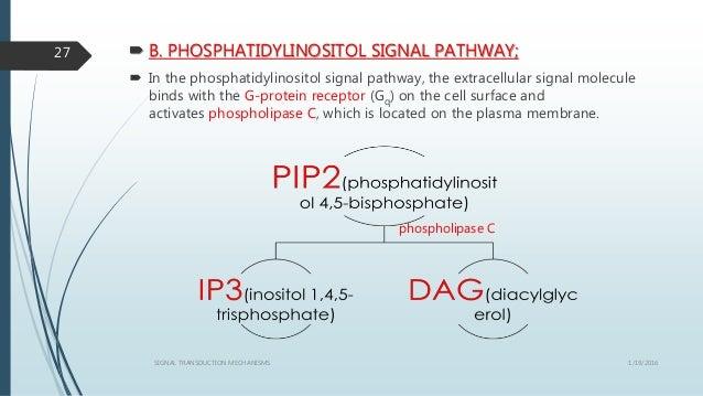  B. PHOSPHATIDYLINOSITOL SIGNAL PATHWAY;  In the phosphatidylinositol signal pathway, the extracellular signal molecule ...