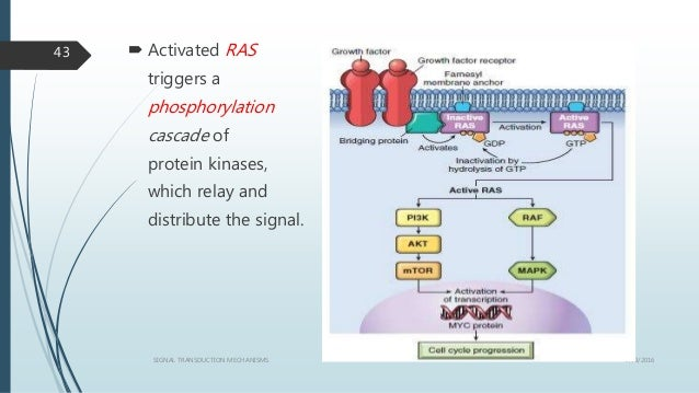  Activated RAS triggers a phosphorylation cascade of protein kinases, which relay and distribute the signal. 1/19/2016SIG...