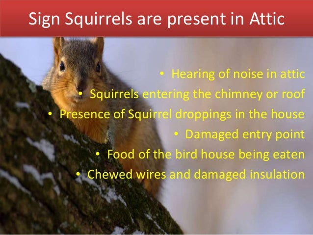 Signs Of Squirrels In Attic