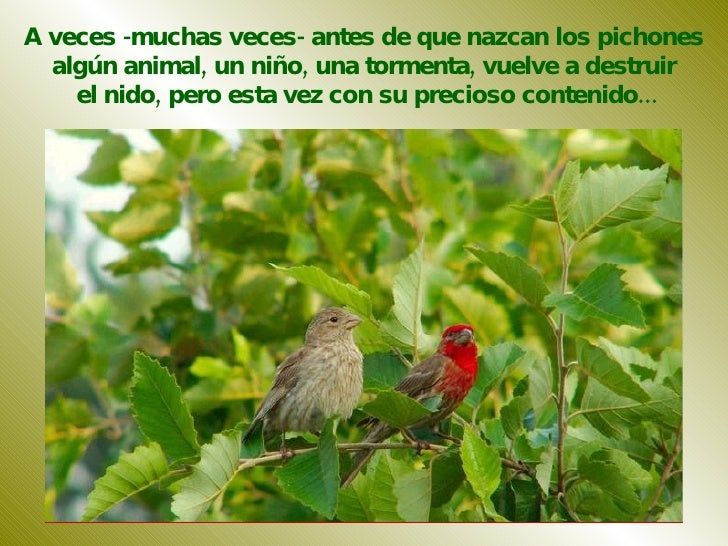 A veces -muchas veces- antes de que nazcan los pichones  algún animal, un niño, una tormenta, vuelve a destruir  el nido, ...