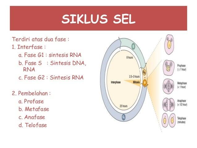 SIKLUS SEL Terdiri atas dua fase : 1. Interfase : a. Fase G1 : sintesis RNA b. Fase S : Sintesis DNA, RNA c. Fase G2 : Sin...