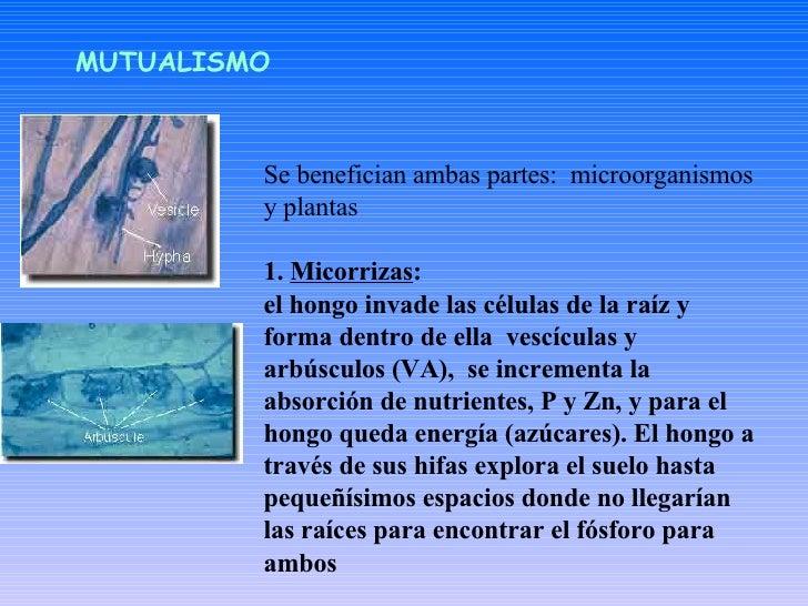 Se benefician ambas partes:  microorganismos y plantas  1.  Micorrizas :  el hongo invade las células de la raíz y forma d...