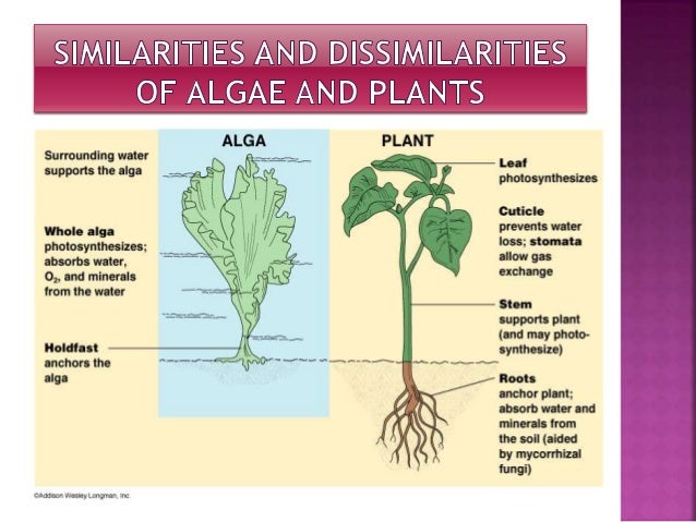 Image result for green algae plant