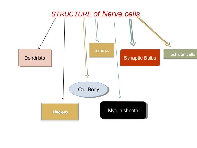Simple information about nervous cell simple information ccuart Image collections