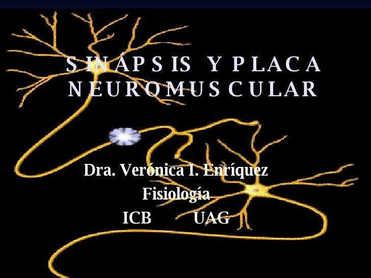 SINÁPSIS Y PLACA NEUROMUSCULAR Dra. Verónica I. Enríquez Fisiología ICB  UAG