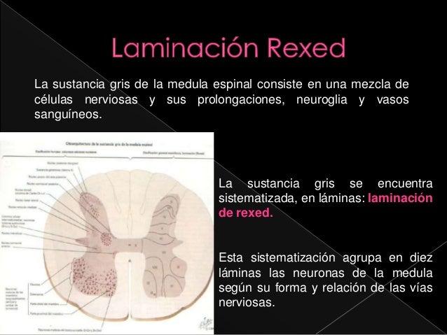 Sinapsis y medula espinal