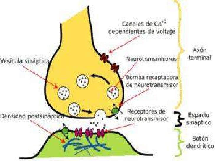 Sinapsis y tipos de sinapsis for Tipos de mobiliario urbano pdf