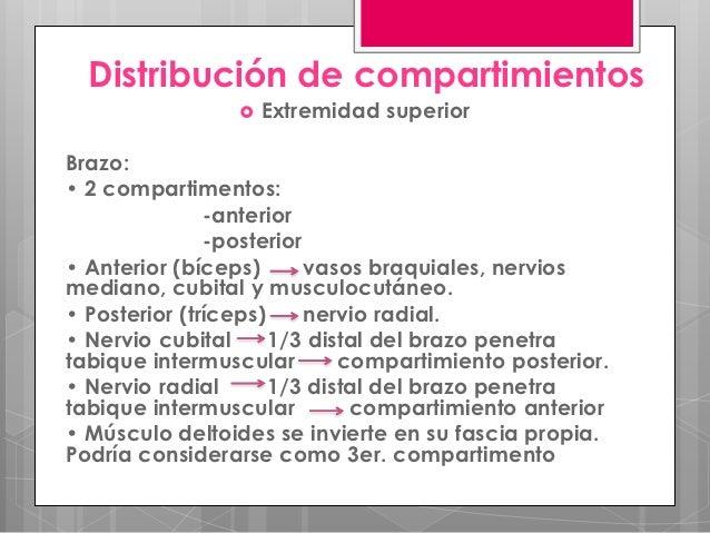 Distribución de compartimientos                    Extremidad superiorBrazo:• 2 compartimentos:               -anterior  ...