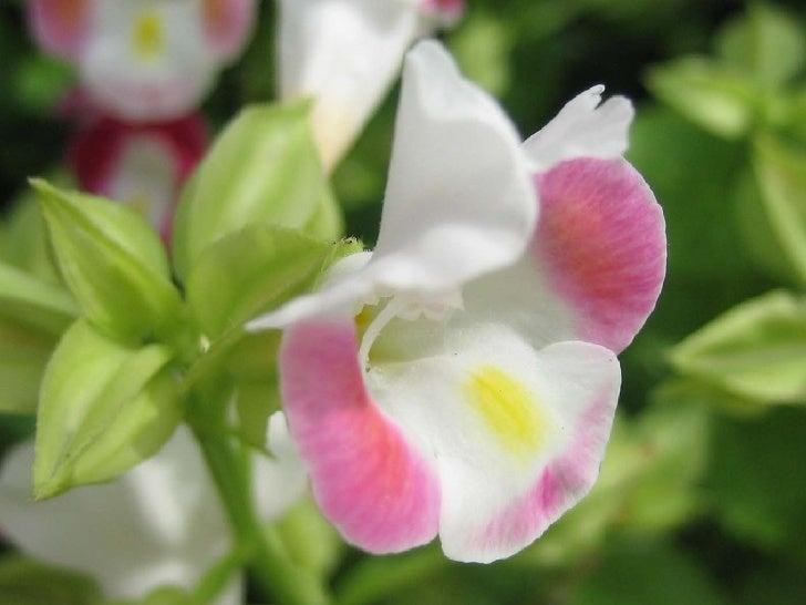 Singapore Orchids Slide 2