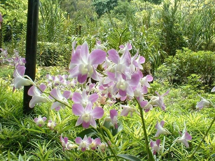 Singapore Orchids Slide 3