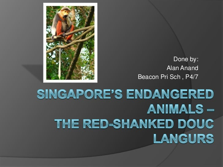Done by:<br />Alan Anand<br />Beacon PriSch , P4/7<br />Singapore's Endangered Animals – The Red-shankedDoucLangurs<br />