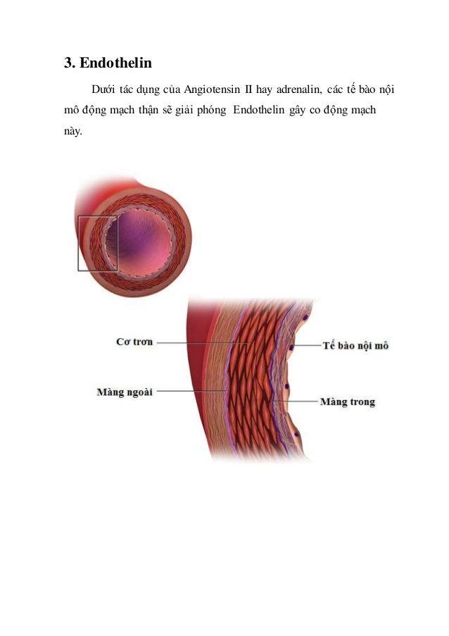 3. Endothelin Dưới tác dụng của Angiotensin II hay adrenalin, các tế bào nội mô động mạch thận sẽ giải phóng Endothelin gâ...