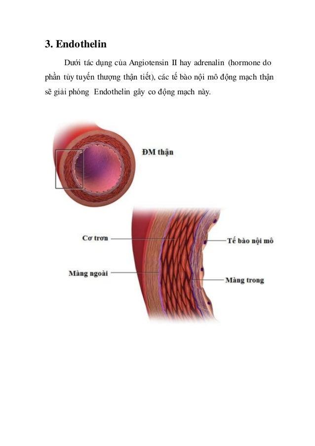 3. Endothelin Dưới tác dụng của Angiotensin II hay adrenalin (hormone do phần tủy tuyến thượng thận tiết), các tế bào nội ...