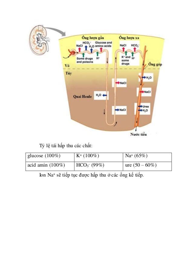 Tỷ lệ tái hấp thu các chất: glucose (100%) K+ (100%) Na+ (65%) acid amin (100%) HCO3 - (99%) ure (50 – 60%) Ion Na+ sẽ tiế...