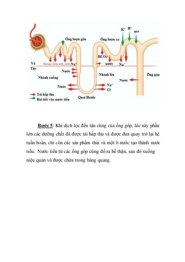 Bước 5: Khi dịch lọc đến tận cùng của ống góp, lúc này phần lớn các dưỡng chất đã được tái hấp thu và được đưa quay trở lạ...