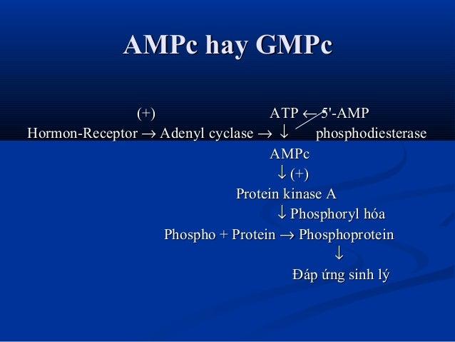 AMPc hay GMPcAMPc hay GMPc (+)(+) ATPATP ←← 5'-AMP5'-AMP Hormon-ReceptorHormon-Receptor →→ Adenyl cyclaseAdenyl cyclase →→...