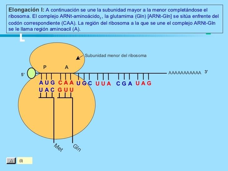 Elongación I: A continuación se une la subunidad mayor a la menor completándose elribosoma. El complejo ARNt-aminoácido2 ,...