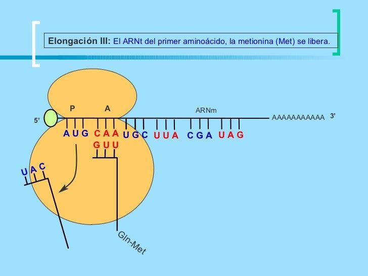 Elongación III: El ARNt del primer aminoácido, la metionina (Met) se libera.              P         A                     ...