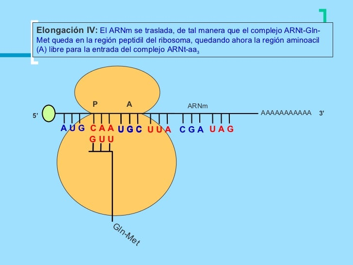 Elongación IV: El ARNm se traslada, de tal manera que el complejo ARNt-Gln- Met queda en la región peptidil del ribosoma, ...