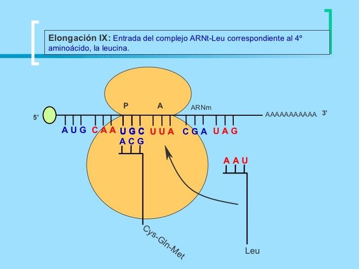 Elongación IX: Entrada del complejo ARNt-Leu correspondiente al 4º     aminoácido, la leucina.                          P ...