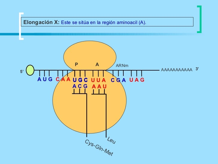 Elongación X: Este se sitúa en la región aminoacil (A).                       P            A           ARNm5'             ...