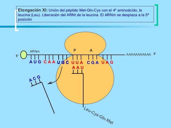 Elongación XI: Unión del péptido Met-Gln-Cys con el 4º aminoácido, la leucina (Leu). Liberación del ARNt de la leucina. El...