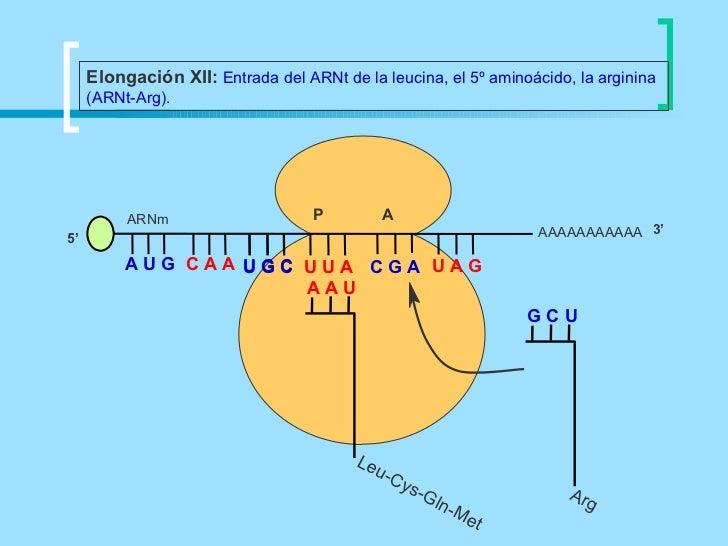Elongación XII: Entrada del ARNt de la leucina, el 5º aminoácido, la arginina     (ARNt-Arg).          ARNm               ...