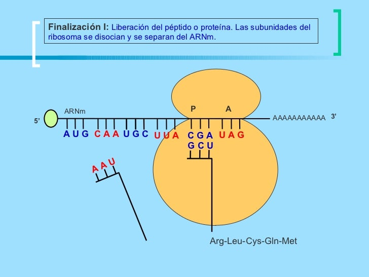 Finalización I: Liberación del péptido o proteína. Las subunidades del     ribosoma se disocian y se separan del ARNm.    ...
