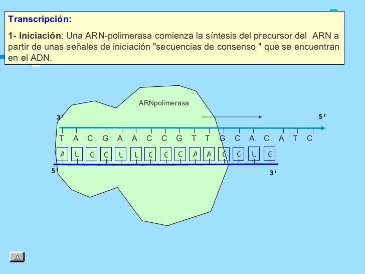 Transcripción:1- Iniciación: Una ARN‑polimerasa comienza la síntesis del precursor del ARN apartir de unas señales de inic...