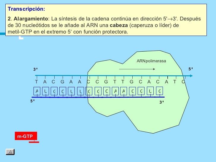 Transcripción:2. Alargamiento: La síntesis de la cadena continúa en dirección 5→3. Despuésde 30 nucleótidos se le añade al...