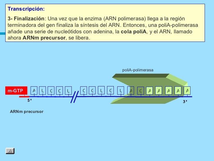 Transcripción:3- Finalización: Una vez que la enzima (ARN polimerasa) llega a la regiónterminadora del gen finaliza la sín...