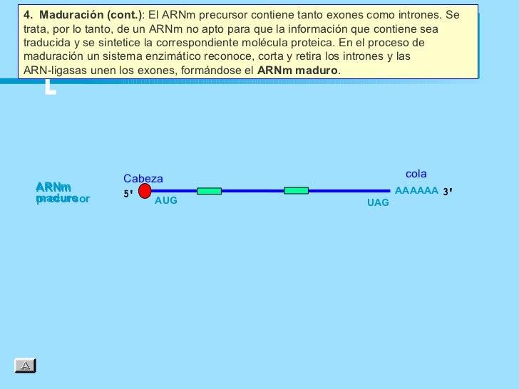 4. Maduración (cont.): El ARNm precursor contiene tanto exones como intrones. Setrata, por lo tanto, de un ARNm no apto pa...