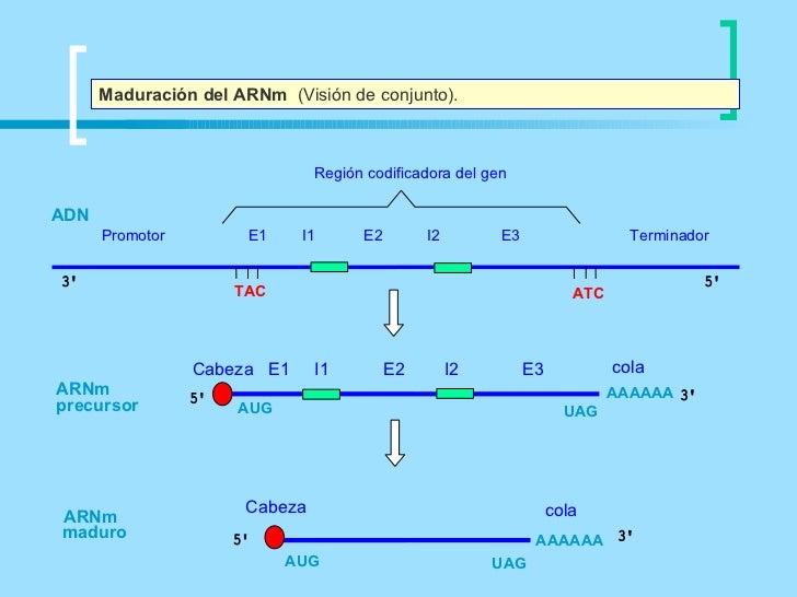 Maduración del ARNm (Visión de conjunto).                               Región codificadora del genADN      Promotor      ...